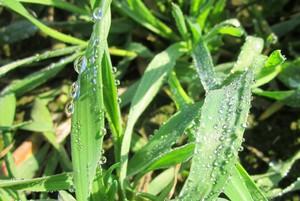 Mocznik i siarczan magnezu dolistnie w uprawie zbóż