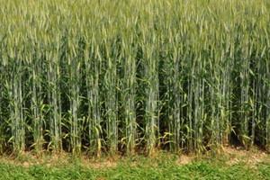 Izba Zbożowo-Paszowa: nie ma chętnych na zakup żyta i pszenżyta
