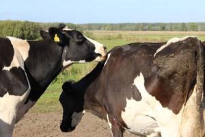 Jak krowa pokazuje że czas na krycie?