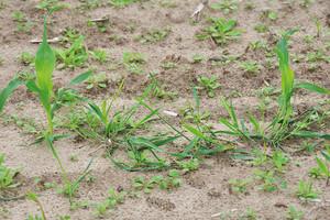 Odchwaszczanie kukurydzy po wschodach