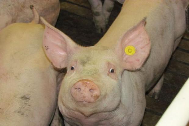 Warto stosować żyto hybrydowe w żywieniu świń