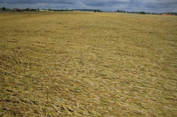 Wyreguluj łan pszenicy