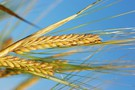 Ceny zbóż w Paryżu w dół