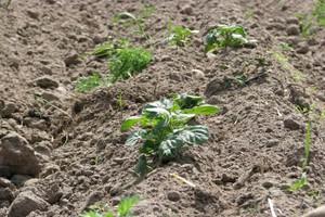 Nowe rozwiązanie w ochronie ziemniaka przed chwastami