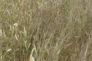 Preparaty do zwalczania miotły zbożowej w pszenicy ozimej