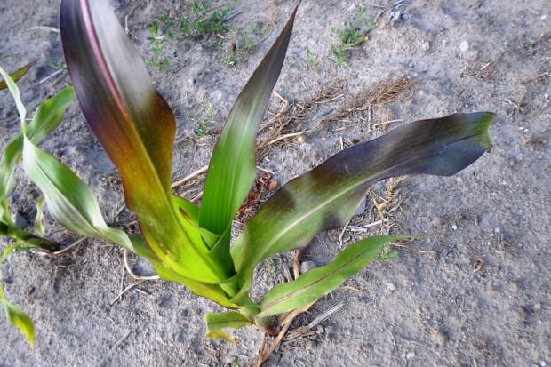 Wspomaganie kukurydzy fosforem
