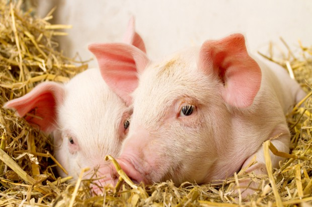 Copa-Cogeca o trudnej sytuacji na rynku wieprzowiny