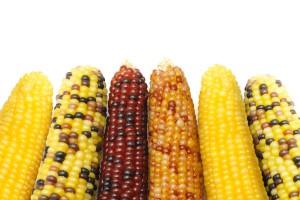 Mniejsze zbiory kukurydzy w sezonie 2015/2016