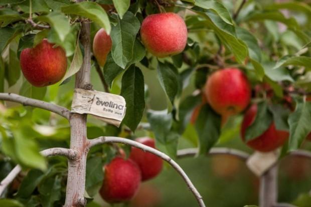 Stały wzrost cen jabłek deserowych na rynku krajowym