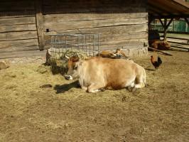 Bydło i krowy z płatnością bezpośrednią przez 30 dni u rolnika