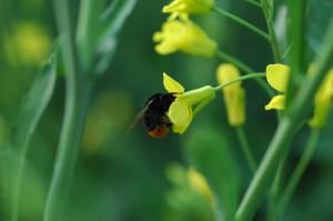 W ochronie kwitnącego rzepaku, pamiętajmy o pszczołach