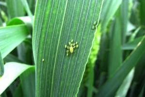 Żółta karłowatość jęczmienia problemem w pszenicy