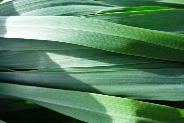 Czas pomyśleć o zabiegu T2 - na razie rolnicy wykonują go w jęczmieniu