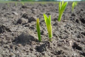 Dogodne warunki dla wzrostu kukurydzy