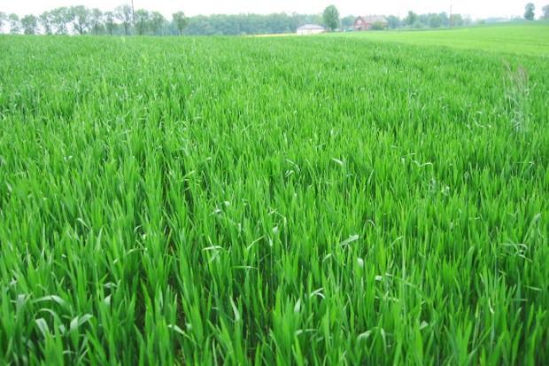 Trzecia dawka azotu w pszenicy - tak czy nie?