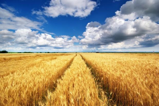 Niemcy: Prognoza ponadprzeciętnych zbiorów zbóż
