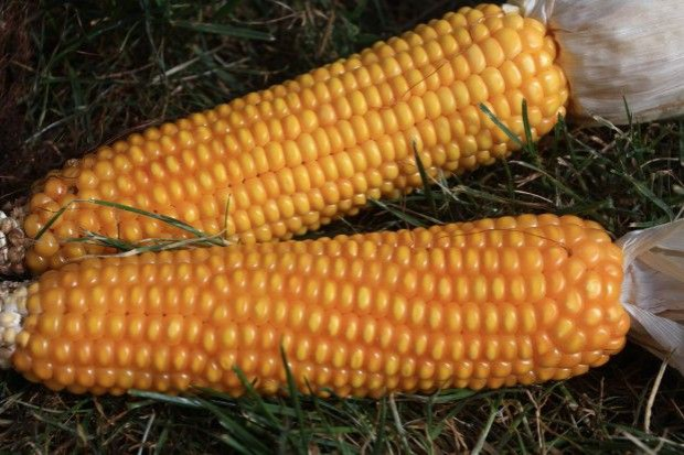 PZPK: Ceny kukurydzy w sezonie raczej nie będą wysokie