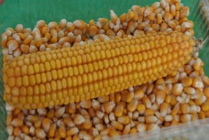 Mniej kukurydzy we Francji