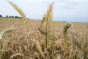 Jakim plantacjom zagraża sporysz zbóż i traw?