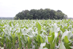 Podaj cynk kukurydzy