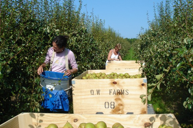 Mimo embarga ubiegłoroczne zbiory jabłek zostały sprzedane