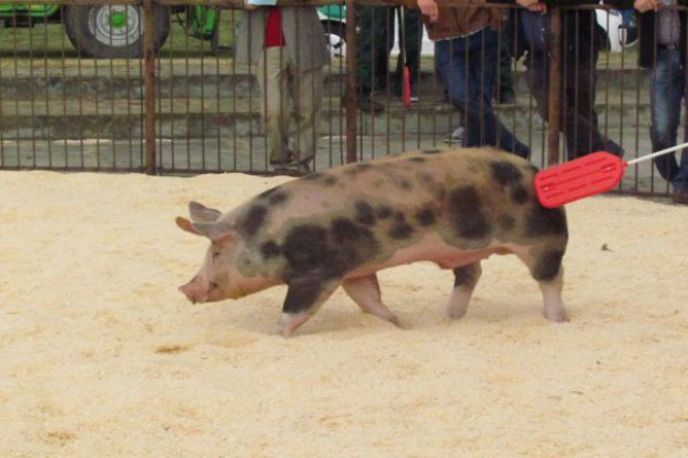 Czempiony i wiceczempiony XXI Regionalnej Wystawy Zwierząt Hodowlanych w Sielinku