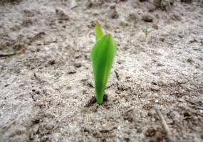 W warunkach suszy mocznik może stać się fitotoksyczny dla roślin