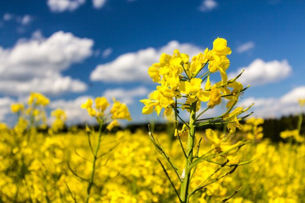 Dobór odmiany rzepaku kluczem do sukcesu w uprawie?