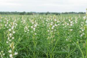 Jak rozpoznać nasiona łubinu białego?