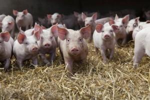 Cena wieprzowiny wyższa niż w 11 państwach członkowskich