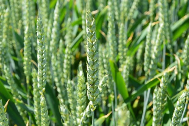 FAO: prognoza światowej produkcji pszenicy
