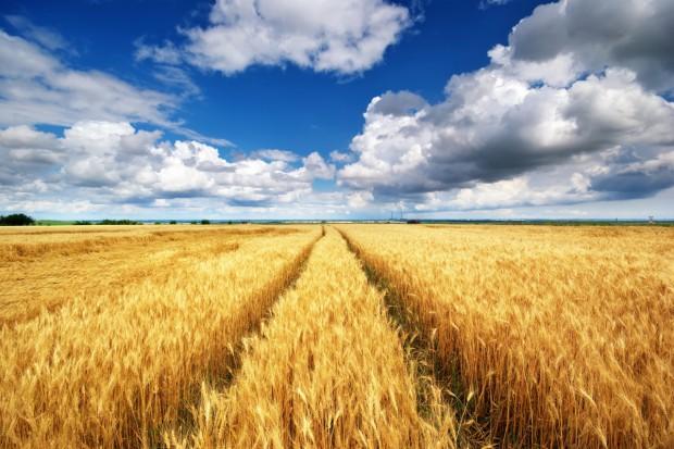 Uspokajające prognozy światowych zbiorów pszenicy