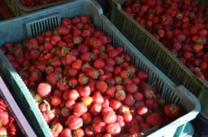 Rosjanie kupują przy granicy truskawki, bo u nich nie ma