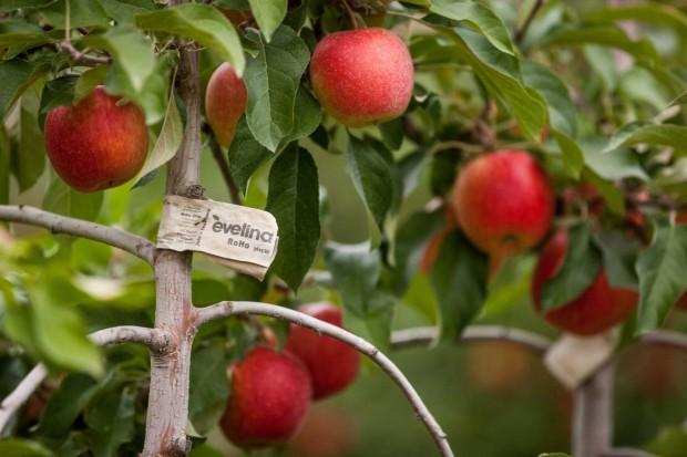 KE chce ukarać Polskę za uchybienia w inwestycjach w sektorze owoców