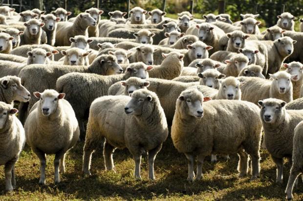 Ceny owiec w UE na poziomie ubiegłorocznym, a polskich niższe