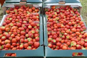 Ceny truskawek mocno zróżnicowane