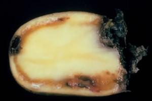 Śluzak - problem również krajowych plantacji ziemniaka?