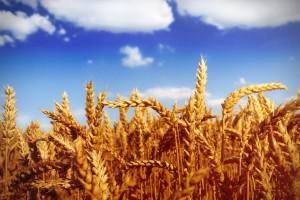Giełdy krajowe: Rosną ceny zbóż, zwłaszcza pszenicy