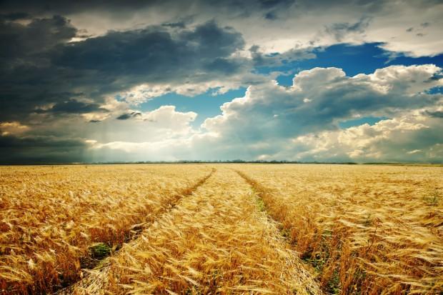Niemcy: Zbiory zbóż prognozowane na około 47 mln ton