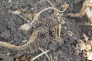 Zarażenie i rozprzestrzenianie kiły kapustnych