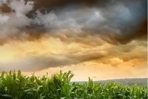 Ostatni dzwonek na fungicyd w kukurydzy