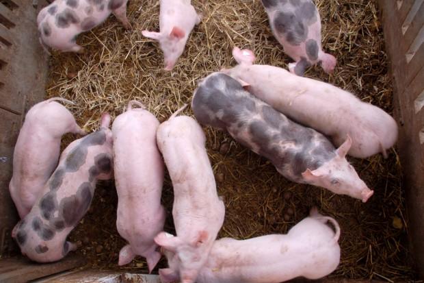 KRiR: Za niskie rekompensaty za świnie