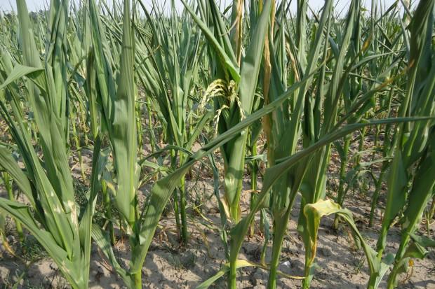 Susza zagrożeniem dla kukurydzy