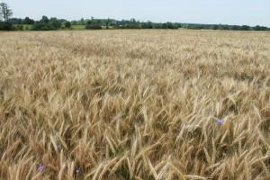 Rosną notowania zbóż na światowych giełdach, uprawom nie sprzyja pogoda