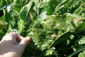 Monitoring chorób liści w buraku