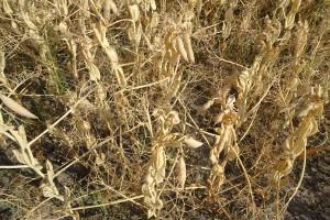 Groch dosycha - z rejonów posusznych rokuje słabo
