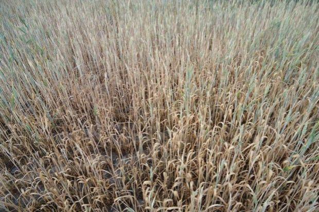 KRIR wystąpiła z wnioskiem o rozważenie wprowadzenia klęski suszy