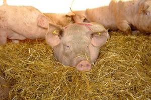 Żyto dla świń po duńsku