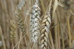 Stan plantacji zbóż w Wielkopolsce