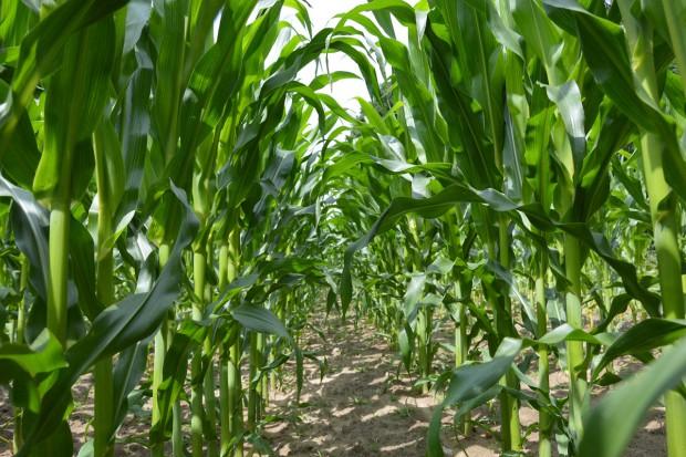 Omacnica prosowianka – którą kukurydzę wybiera?